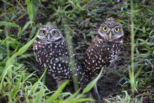 Burrowing owls let people get close, but keep an eye on them. Marco Island has a thriving burrowing owl population, and a dedicated cadre of volunteers who work to keep them safe.