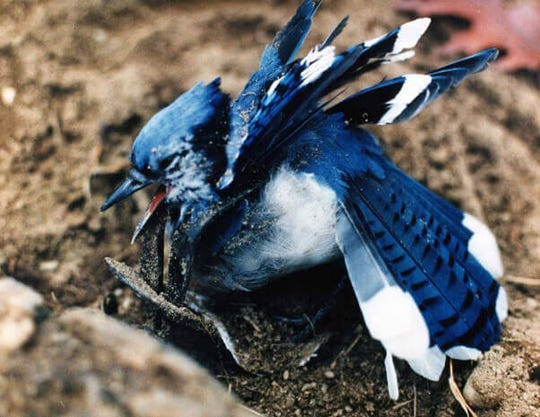 A bluejay is the unlikely victim of a trap.