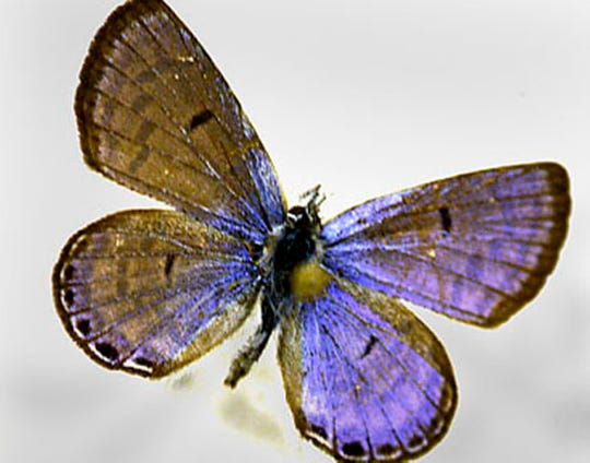 A Mount Charleston Blue Butterfly, Icaricia Shasta Charlestonensis (male), is displayed in Mt. Charleston, Nevada.