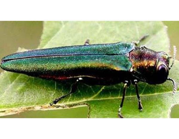 The emerald ash borer is a beetle that can destroy ash trees.