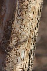 Emerald ash borer larvae leave tell-tale tracks on the wood beneath ash tree bark.