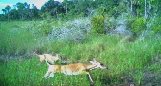 A Florida panther photographed chasing a deer about 9 a.m. July 23, 2019, in the J.W. Corbett Wildlife Management Area is believed to be the same cat found dead Saturday, Nov. 2, 2019, on State Road 710 about 2 miles south of Indiantown.