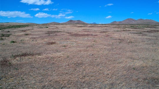 This 2004 photo provided by Bethany Bradley shows cheatgrass in Jungo, Nev. A new study finds that for much of the United States, invasive grass species, such as cheatgrass, are making wildfires more frequent, especially in fire-prone California.