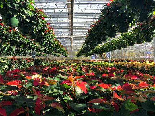 Stanley's Greenhouse has grown 45,000 Poinsettias in their eight growing houses.