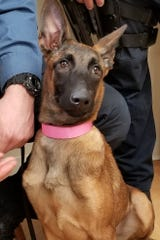 The female Belgian Malinois poses for a picture with Morris County Sheriff's Officers.