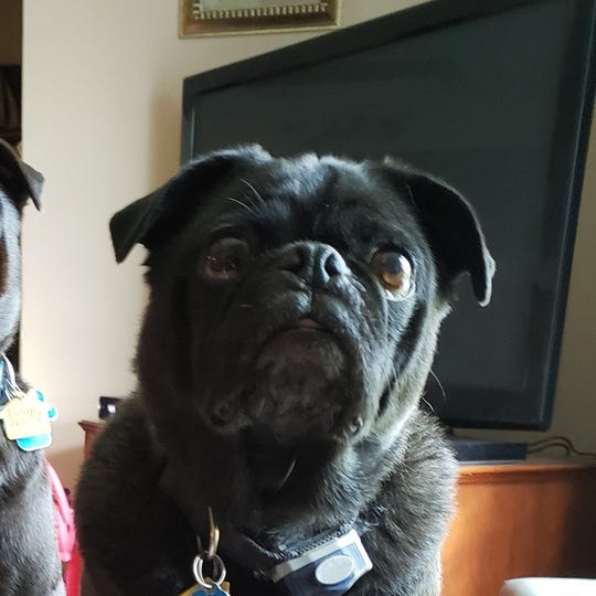 Rex, a rogue pug from Milford, is on the run in the GM Proving Grounds.