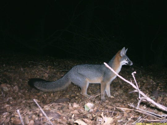 A wild gray fox is captured by a wildlife camera at Pinnacles National Park in these undated photos.