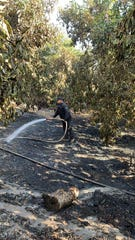 Roberto Godinez from South Mountain Ranch is shown irrigating orchards in this contributed photo.