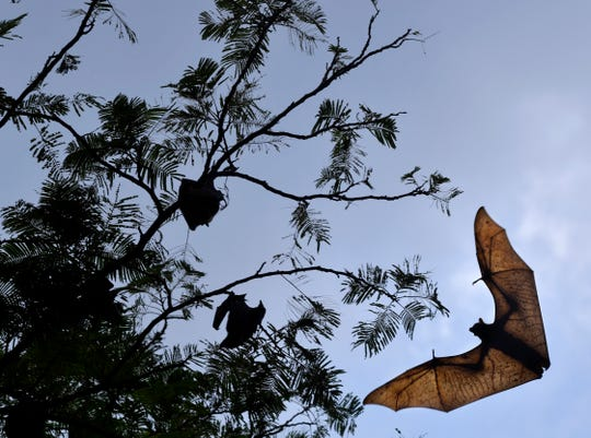 Fruit bats swarm over a road at the former Naval Air Station Cubi Point, Philippines. During the years the Navy operated the base, flights were suspended daily within the half hour surrounding sunset and sunrise to prevent aircraft and the large mammals from colliding.