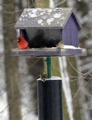 A cardinal, left, shares a bird feeder with goldfinches.