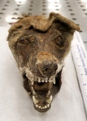 Federal inspectors seized the skull of an African fox from travelers arriving at Philadelphia International Airport.