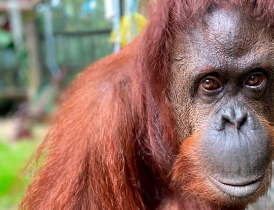 In this photo made available Wednesday, Nov. 6, 2019, by the Center for Great Apes, Sandra, a 33-year old orangutan, settles into her new home at the Center for Great Apes in in Wauchula, Fla.