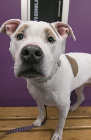 Panda, a 7-year-old pit bull mix shown Friday, Nov. 8, 2019, is among the dogs available for adoption at the Livingston County Animal Shelter.