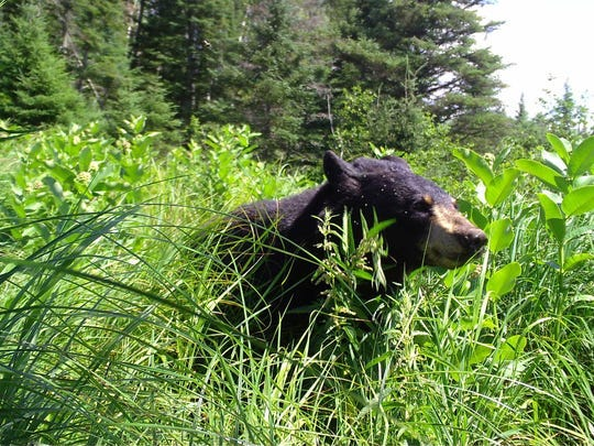 A black bear is photographed in Wisconsin.
