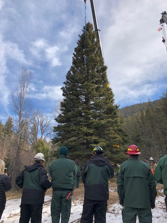 The 60-foot blue spruce was harvested on Nov. 6 from the Carson National Forest in northern New Mexico.