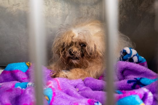 One of the dogs rescued by St. Clair County Animal Control looks out of its cage Friday, Nov. 8, 2019, at the shelter. Many of the dogs had extreme matting of their fur and needed to be shaved.