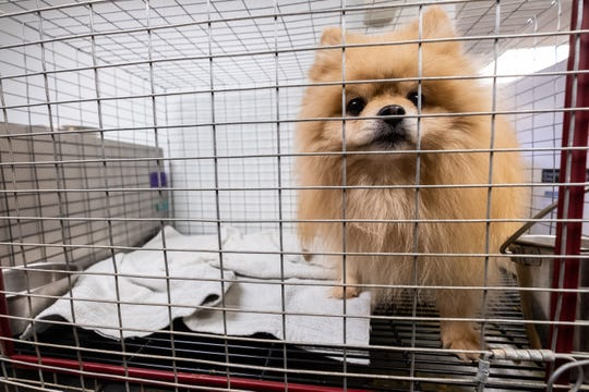 A Pomeranian rescued earlier this week by St. Clair County Animal Control looks out of its cage Friday, Nov. 8, 2019, at the shelter.