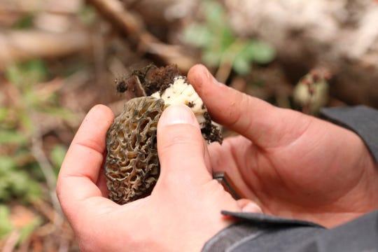 The Willamette Valley Mushroom Society will host its4th annual mushroom show Nov. 17.
