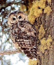 The spotted owl is considered threatened under the federal Endangered Species Act.
