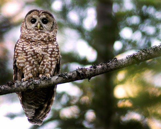 A California spotted owl sits on a perch in the Tahoe National Forest in California, July 12, 2004.