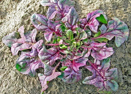 USDA Red, the first true red spinach variety.