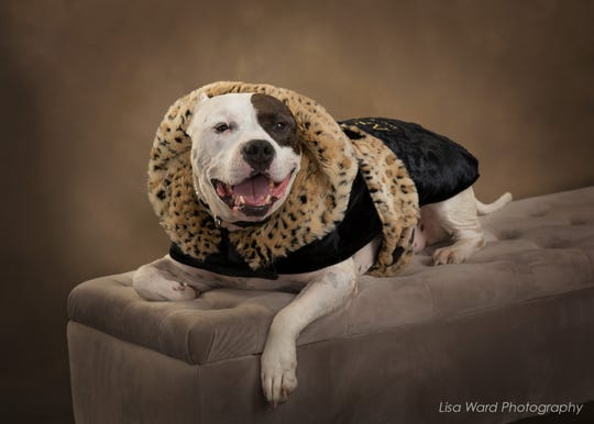 Sweet Pea, a pit bull once used as a bait dog, got a special photo shoot before her appearance at the ASPCA's Humane Awards luncheon in New York.