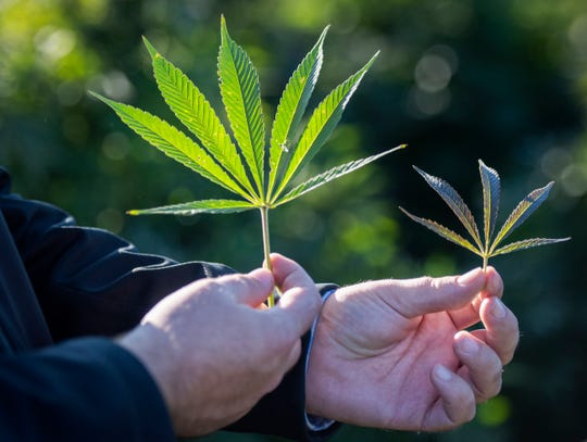 Jonathan Baker, owner of TFP Sciences, shows cannabis leaves to point out the varied hemp crops he grows in rural Whitewater on Oct. 25, 2019. Baker, 29, moved back to Fort Atkinson this year after spending a decade in northern California, where he'd built a life as a cannabis activist and small-scale grower of legal cannabis strains for therapeutic use.