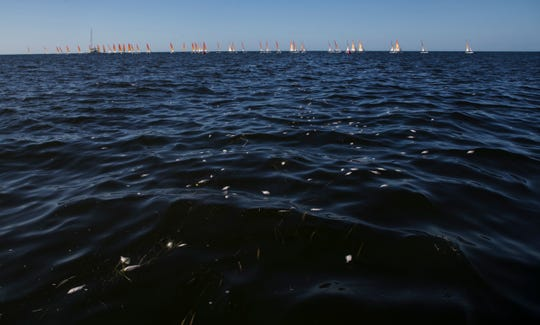 A small patch of dead fish float in the Gulf of  Mexico before a heat of the Hobie 16 World Championships off of Captiva Island on Monday Nov. 11. 2019. Racers are competing over a two week period. They are bolstering the economy of Southwest Florida by staying at hotels, eating at restaurants and bringing family members. Red tide is off the coast of Southwest Florida. Officials of the race says it is not affecting sailors.
