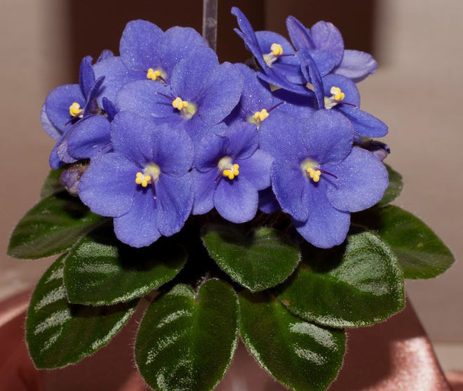African violets are available in many colors including pink, blue, purple, white and bio color blooms.