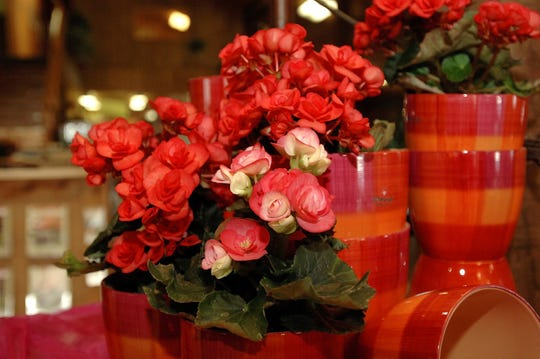 Colorful house plants like these begonias can brighten any room during the winter months.