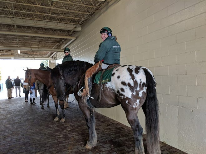Monnie Goetz rides Harley, an American Sugarbush Harlequin Draft horse whose job it is to escort thoroughbred racehorses through the post parade and on to the starting gate.