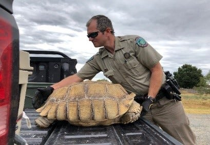 """TPWD reports a sulcate tortoise escaped his enclosure and was on the """"run"""" for 10 days before being returned home."""