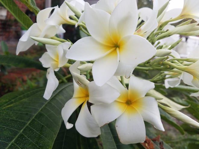 Winter's almost here. Should we experience a hard freeze, delay pruning plants until new growth appears in the spring, unless the plant tissue darkens and becomes soft like plumerias can.
