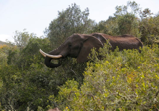 An elephant forages for food at Botlierskop Private Game Reserve, near Mossel Bay, South Africa, Tuesday, Oct. 24, 2019.