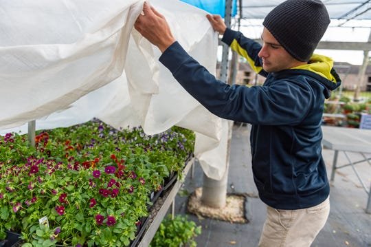 Dustin Richard at All Seasons preparing plants for the cold weather predicted this week. Tuesday, Nov. 12, 2019.
