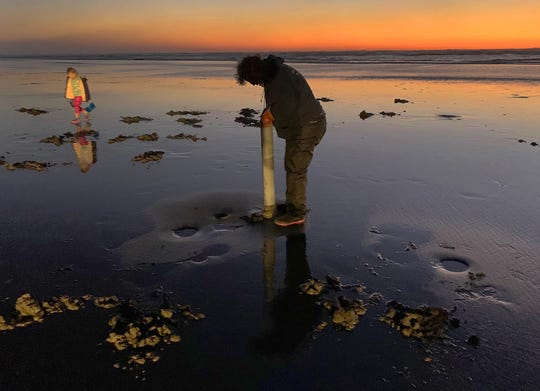 Digging for razor clams is a popular activity along the Oregon coast. A Portland State University study found tiny pieces of plastic in the vast majority of razor clams and oysters sampled along the Oregon coast and noted that the primary source of contamination was from fibers used in synthetic textiles.