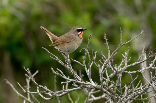 This Siberian Rubythroat was Bernie Grossman's favorite bird observed on his trip to Japan.