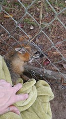 St. Francis Wildlife volunteer Emily Shaw carefully rescued this fox that had unsuccessfully tried to squeeze through a chain link fence.