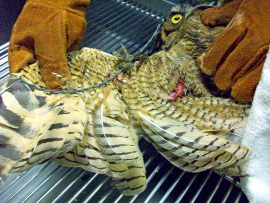 St. Francis Wildlife staff removed the barbed wire from this great horned owl's wing. After six days of treatment and TLC at the wildlife hospital, it was set free.