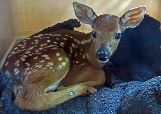 This fawn was orphaned when it could not follow its mother after she leaped over a woven wire fence that reached all the way to the ground.