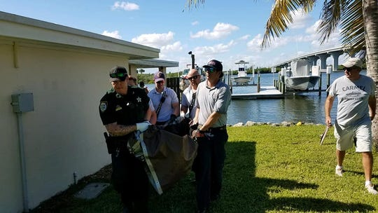 A 144-pound green sea turtle was rescued by the Indian River County Sheriff's Office marine patrol after being struck by a boat Sunday, November 10, 2019. The turtle was transported to Loggerhead Marinelife Center in Juno Beach where it is recovering.