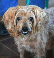 Shaggy is a 4-year-old, tan, male terrier mix. He is vaccinated, neutered and microchipped. Shaggy is friendly and happy and is available for adoption at the Humane Society of Wichita County.