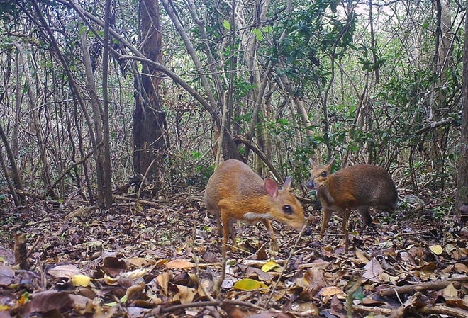 In this Jun. 6, 2018, photo, two silver-backed chevrotains were captured by a camera trap in an undisclosed forest in south central Vietnam. The species, commonly known as Vietnamese mouse deer, was rediscovered after 30 years.