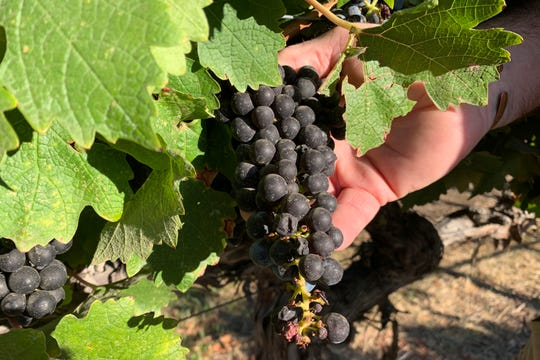 In this Oct. 4, 2019 photo, Cabernet Sauvignon wine grapes that are almost ready for harvest are held at Wente Vineyards in Livermore, Calif. American wine producers are being squeezed out of the fast-growing Chinese market, thanks to President Donald Trump's trade war with China. Since the trade dispute began last year, China has raised tariffs on American wines three times in retaliation for U.S. tariffs on Chinese goods. Those Chinese tariffs have made U.S. wine much more expensive, leading to a steep drop in sales. Among the casualties is California's Wente Vineyards, a family-run wine business that was among the first U.S. winemakers to export to China 25 years ago. (AP Photo/Terry Chea)