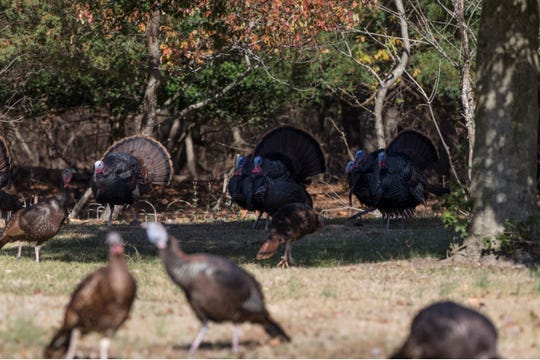 A large group of turkey found along Berkshire Court in Holiday City have been a nuisance to residents.Toms River, NJWednesday, November 13, 2019