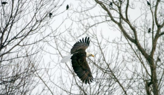 A bald eagle flies over the Intervale in Burlington on Jan. 3, 2005. Crows can be seen perching in the background. The wingspan of an adult bald eagle stretches to between 7 and 8 feet. They feed primarily on carrion and fish.