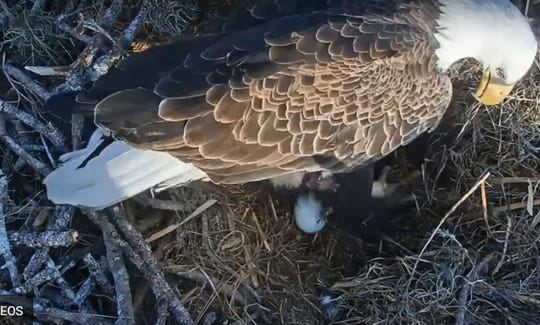Harriet has a new egg! The North Fort Myers eagle laid the first egg of this  nesting season shortly before 5 p.m.  on Tuesday.