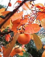 Persimmons look a little like oranges, but can grow in much harsher climates.