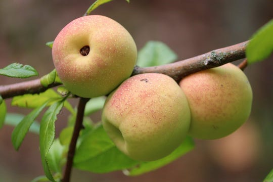 Quince are popular fruits in the Middle East but also grow here in the Midwest.