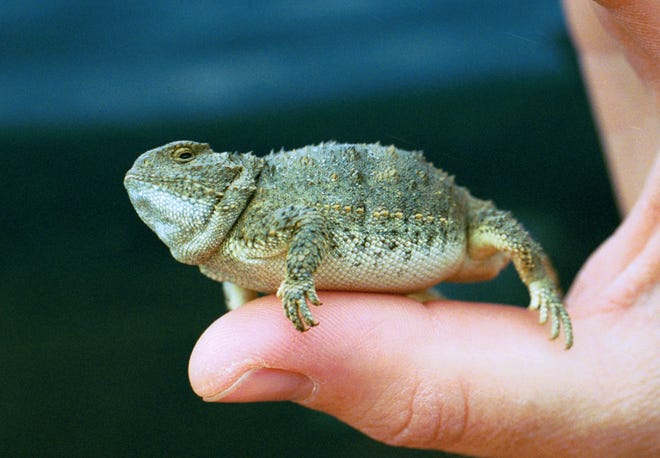 This little horned lizard, P. douglasii,  gulped air to inflate in response to a predator.